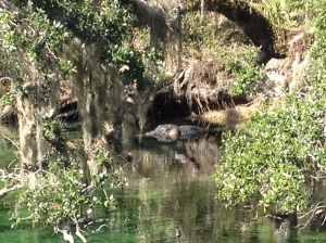 Gator at Blue Springs Park